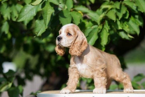 Kleine Hunderassen: Amerikanischer Cocker Spaniel
