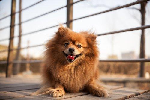 Kleine Hunderassen: Spitz