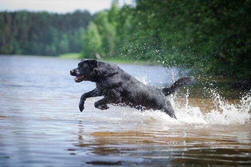 Labrador Retriever rettet zwei Hunde aus einem Kanu