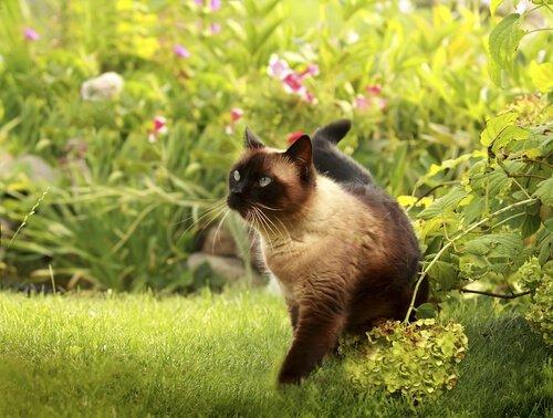 Siamesen Katze