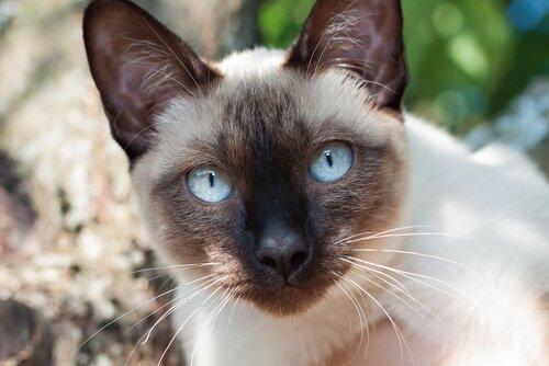 Siamesen: vollendete Eleganz in Katzenform