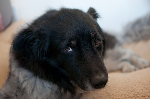 Was ist Canine Ehrlichiose?