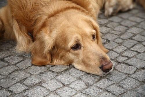 Depressionen bei Hunden . trauriger Hund
