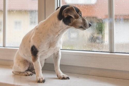 Wusstest du, dass der Regen für das Gehör des Hundes störend ist?