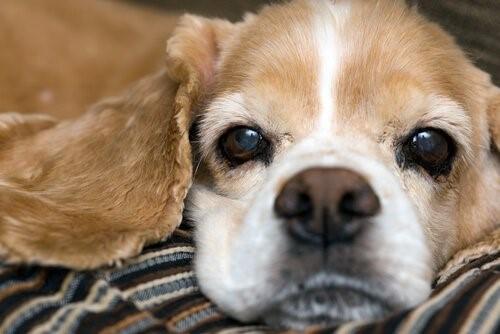 Die Hundeschnauze - Hund auf Decke