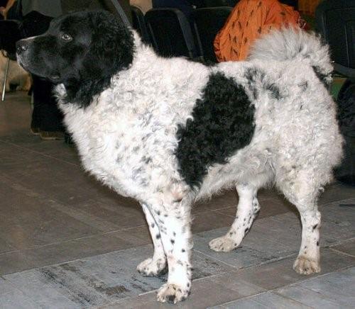 Die Wasserhunde - Friesischer Wasserhund