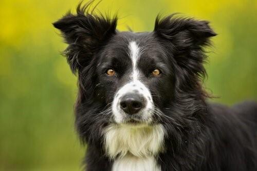 Die intelligentesten Hunderassen - Border Collie