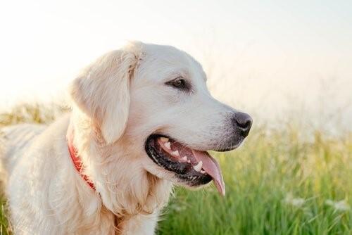 Die intelligentesten Hunderassen - Labrador Retriever