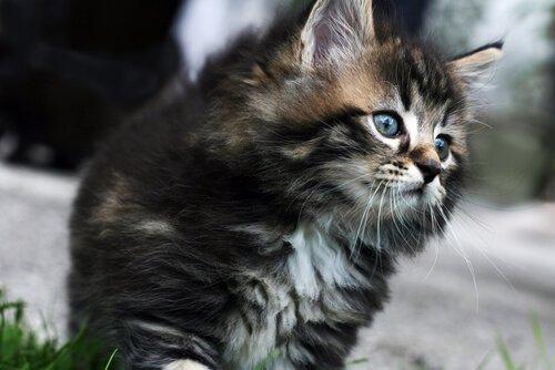 Die teuersten Katzenrassen - Deine Tiere