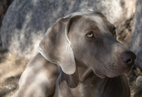 Hunde der FCI Gruppe 7: Rasseklassifizierung nach FCI