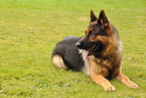 Hüftdysplasie bei Hunden - Schäferhund