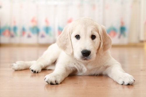 Hat dein Hund die Fähigkeit dich zu täuschen - Welpe