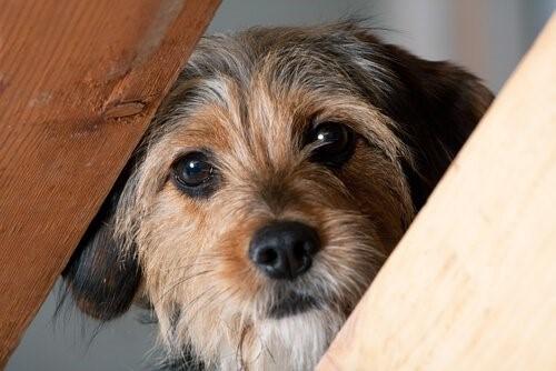 Hunde, die ihre Besitzer hassen - neugiereiger Hund