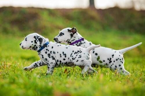 Hunderassen mit blauen Augen - Dalmatiner