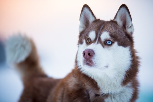 Hunderassen mit blauen Augen - Husky
