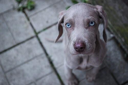 Hunderassen mit blauen Augen