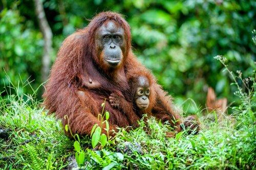 Jane Goodell erforscht Schimpansen