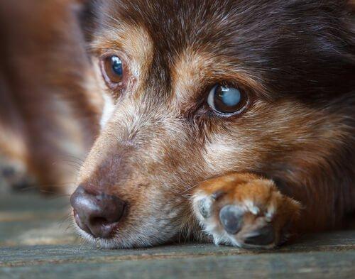 Dein Hund hat Husten und Würgen – Daran kann es liegen | Dr. SAM - dein online Tierarzt
