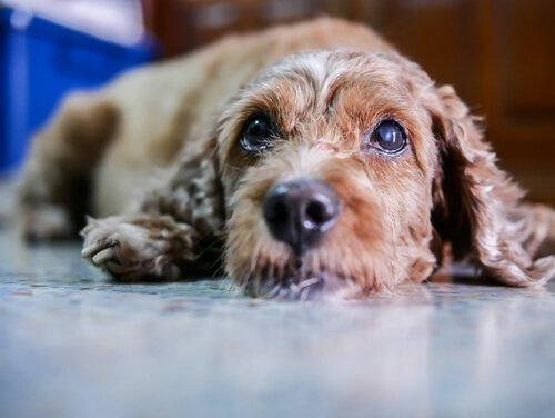 Symptome und Behandlung der Katarakte bei Hunden