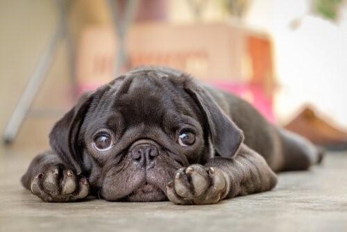 Parvovirose bei Hunden