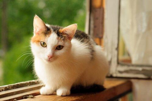 Schildpatt Katzen
