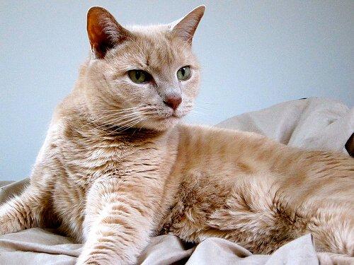 Warum lohnt es sich, eine Katze zu sterilisieren?