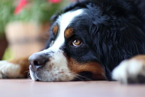 Was kann ich tun, wenn mein Hund traurig ist - Hund liegt auf dem Boden