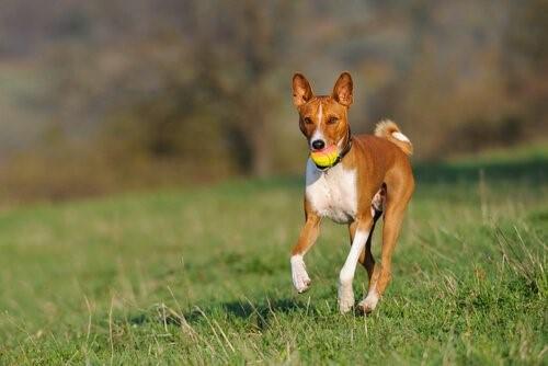 Welche Hunderasse bellt am wenigsten?