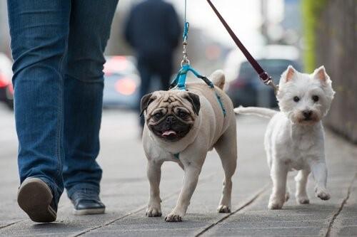 Wie man dem Hund beibringt an der Leine zu gehen - zwei Hunde