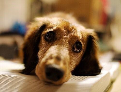 Wie man einen Hund vorm Ersticken rettet - Hund liegt auf Buch