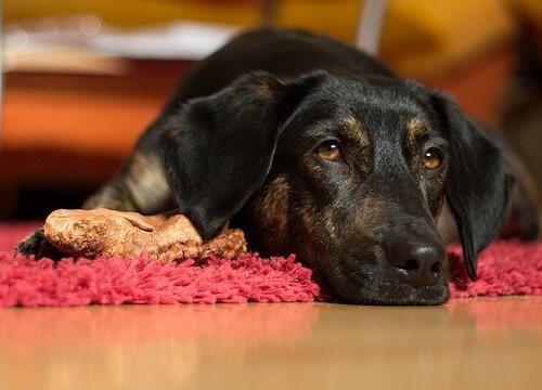 Wie man einen Hund vorm Ersticken rettet - Hund liegt auf Teppich