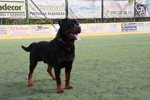 Dominante Hunde erziehen: Wichtige Tipps