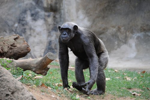 Jane Godall erforscht Schimpansen