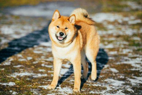 Akita, einer der berühmtesten Hunde.