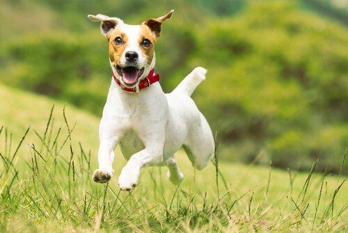 Verschiedene Terrier-Züchtungen wie der Jack Russell