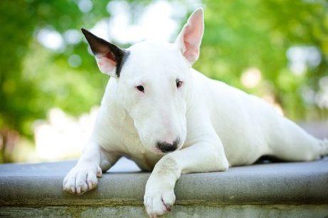 Eine der Terrier Züchtungen, der Pitbull