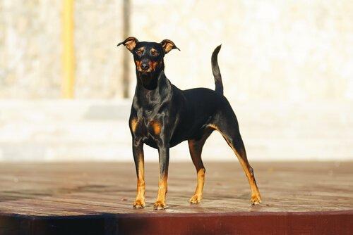 Alles über den Pinscher, sowohl Wachhund als auch treuer Begleiter