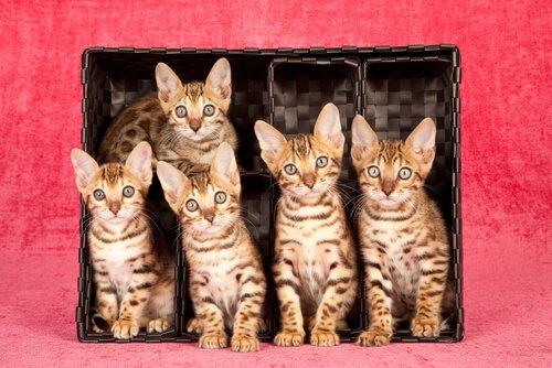 die teuersten Katzenrassen der Welt