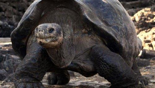 Das Alter einer Schildkröte hängt auch von ihrer Ernährung ab.