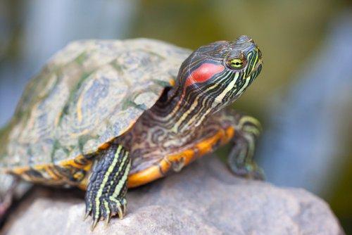 Das Alter einer Schildkröte kann man durch die Wachstumsringe ermitteln.