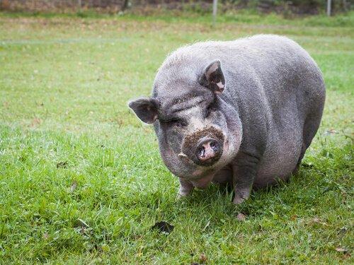 Das Vietnamesische Hängebauchschwein als Haustier ist gelehrig.
