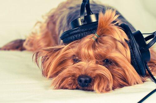Mach ihm Musik, wenn dein Hund viel Zeit alleine verbringt.