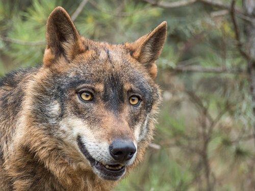 Der Iberische Wolf ist vom Aussterben bedroht