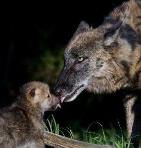 Der iberische Wolf ist wichtig für das Ökosystem.