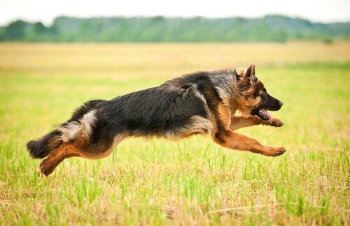 Deutsche Hunderassen: der deutsche Schäferhund