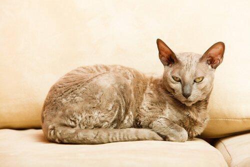 die ältesten Katzenrassen
