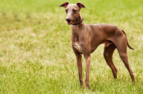 Zu den faulpelzigsten Hunderassen gehören auch die Windhunde