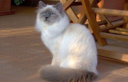 Die heilige Birma-Katze