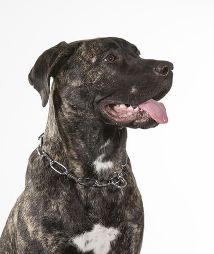 Dogo Canario, ein besonderer Hund