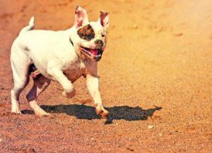Zu den nicht anerkannten Hunderassen gehört die Amerikanische Bulldogge